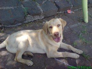 Busco pareja para mi perro labrador - México DF - Ciudad