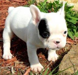 fransk bulldog hvalpe til salg
