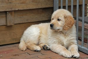 Regalo golden retriever cantabria