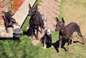 venta perro mexico: