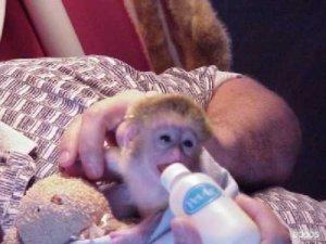 Dos Monos Capuchinos Para La Venta Monterrey Ciudad Anuncios